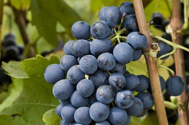 wine grapes Syrah (Shiraz)