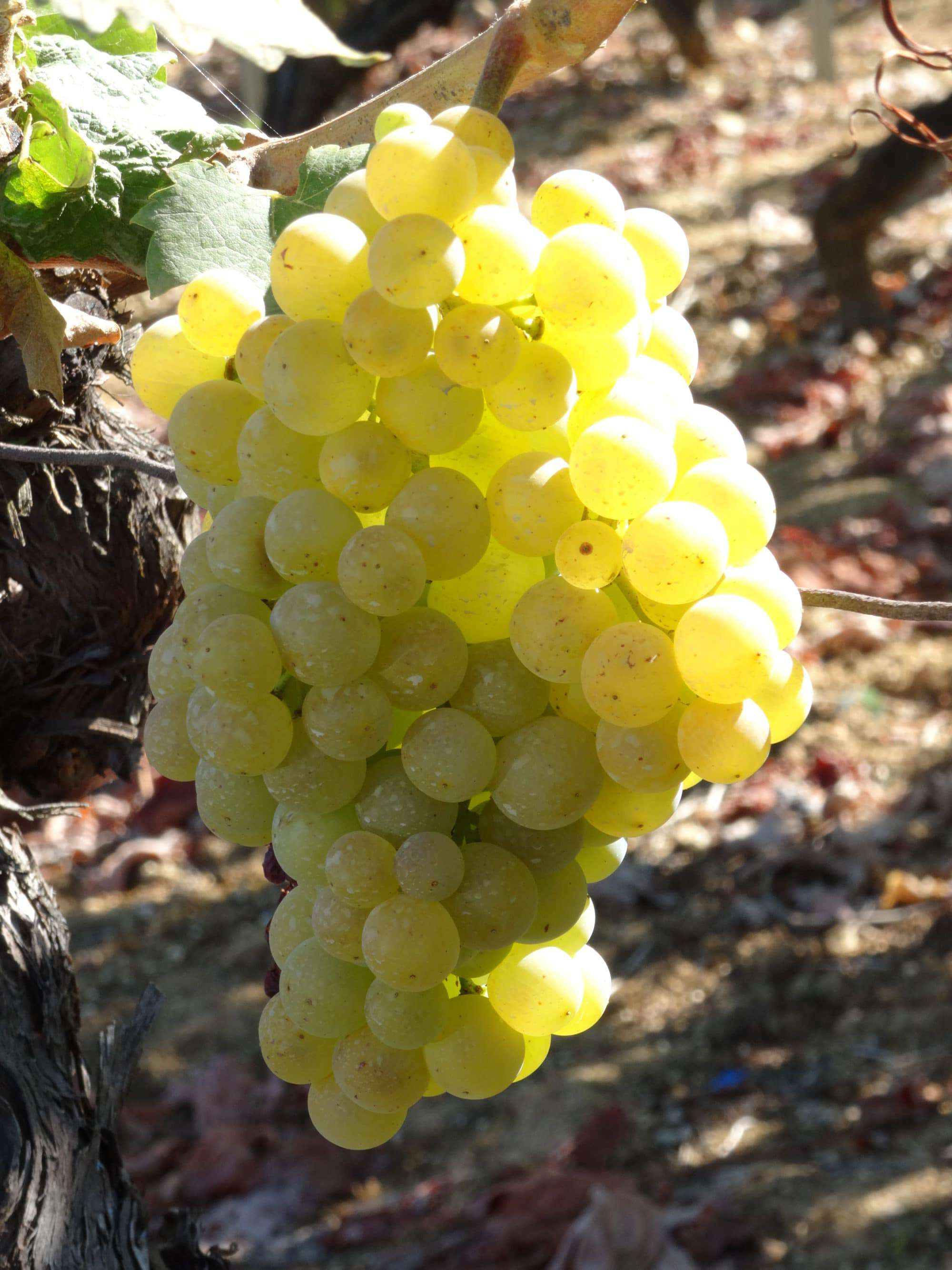 Albarino wine grapes Spain