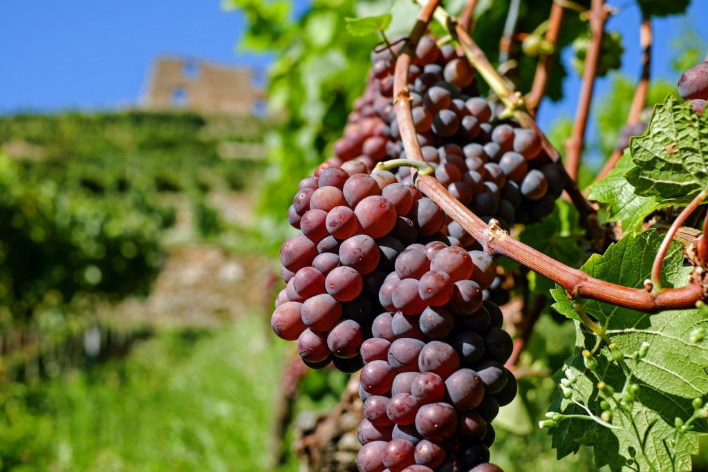 beautiful red wine grapes on the vine
