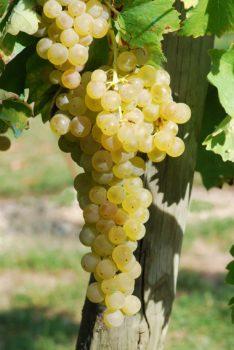 trebbiano white wine grapes on the vine