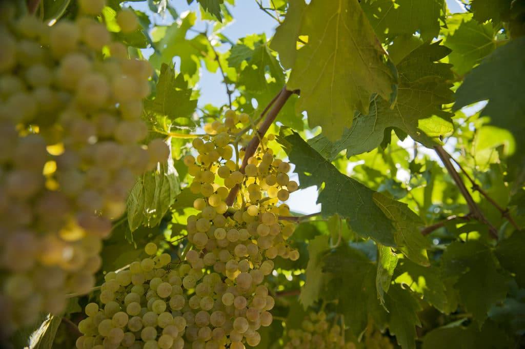 garganega white wine grapes are used in soave