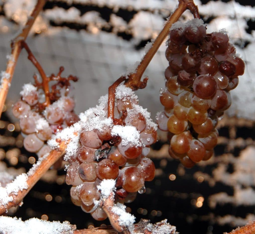 frozen grapes used for ice wine