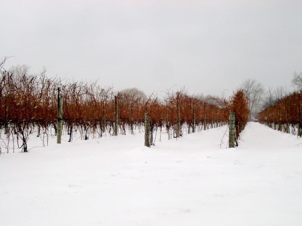 frozen vineyard in canada