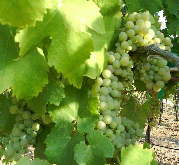 viognier white wine grapes