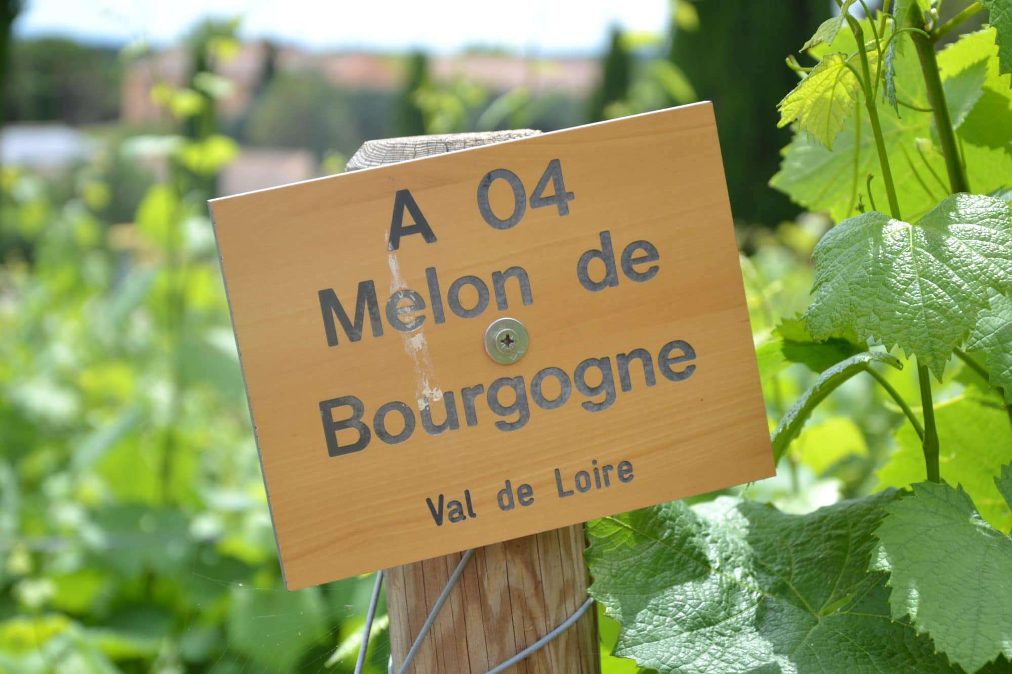 Melon de bourgogne Loire Valley France, French wine regions