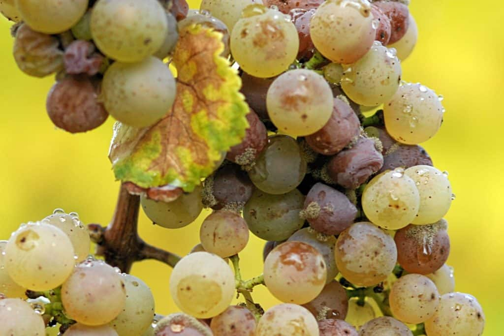 noble rot growing on green grapes