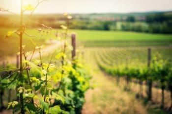 A green vineyard.