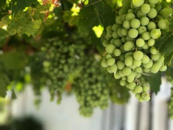 A collection of green grapes on the vine.