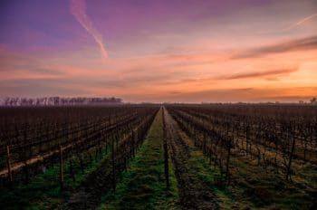 A vineyard during sunset.