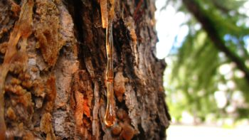 Fresh pine resin on a tree.
