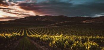 A wine field.