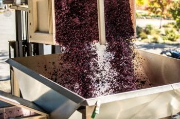 Red grapes being processed to make wine.