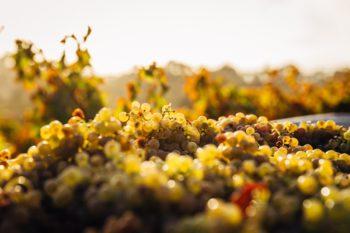 Bowl of green grapes.